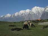 Grazing yaks in the Annapurna Conservation Area. poster