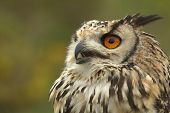 An Indian Eagle Owl hisses at a predator poster