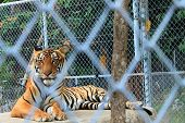 The big Bengal tiger in the Thai zoo. poster
