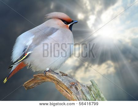 The Bohemian Waxwing (Bombycilla garrulus) sitting on the twig. Closeup with shallow DOF.