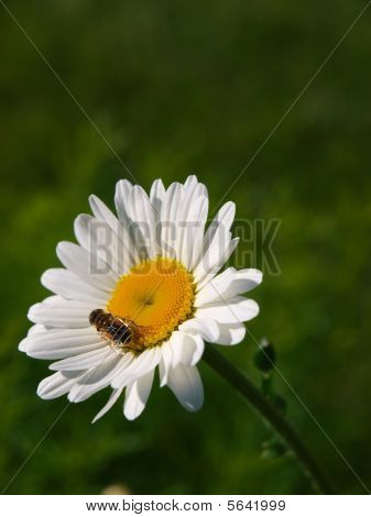 Bee and a Daisy