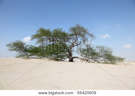 The Tree of Life in the desert of Bahrain. Middle East poster