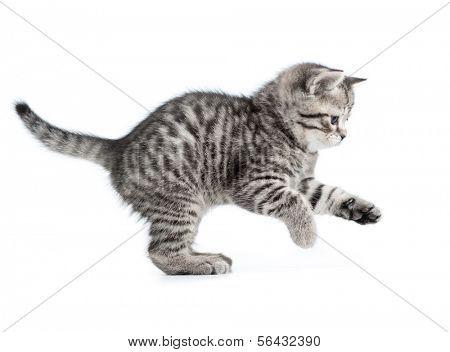 hunting or catching british gray kitten