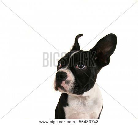 a baby boston terrier puppy close up