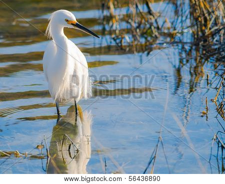 White Egret in its Natural Environment