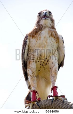 A trained Red Tail Hawk looking for prey. poster