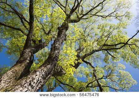 Large elm tree