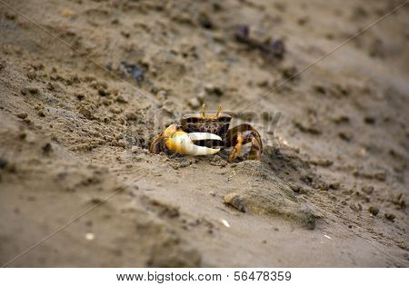 The Atlantic marsh fiddler crab Uca pugnax feeding at Natural Park of Los Torunos Cadiz Spain poster