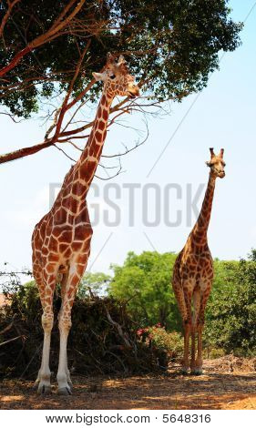Two Reticulated Giraffes Girafa Camelopardalis Reticulata Near The Tree. poster