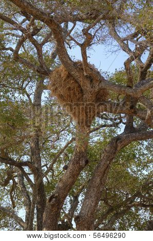 Nest on a tree in South Luangwa National Park, Zambia, Africa