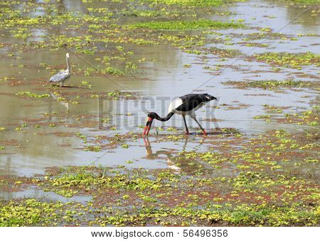 Exotic bird in South Luangwa National Park, Zambia, Africa