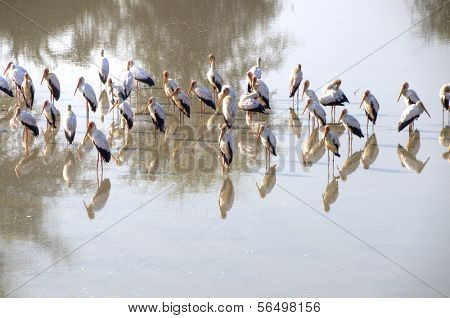 Flamingos standing in water in South Luangwa National Park, Zambia, Africa