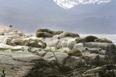 South American fur seals (Arctocephalus australis) resting on the rocks poster