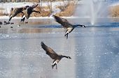 Canada Geese Landing on Ice on a Frozen Lake poster