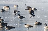 Canada Goose Landing on Ice of a Frozen Lake poster
