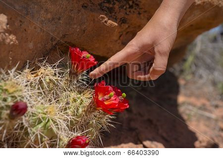 Red Cactus Blossom Canyonlands Utah