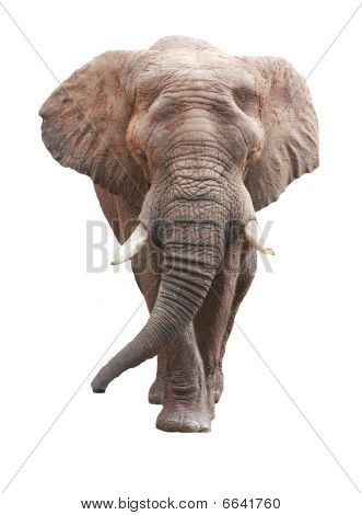 large male african elephant over white background poster