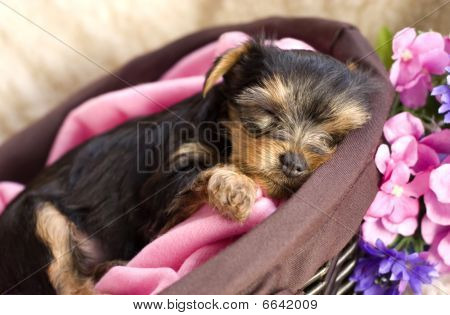 Yorkshire Terrier Puppy In A Basket Sleeping