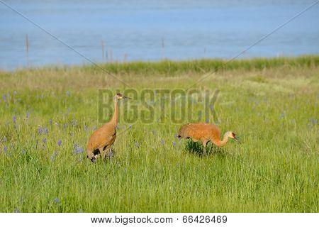 Sandhill Cranes In Camas Field