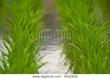 Two Lines Of Rice Plants in Japan