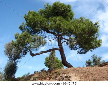 Green mediterranean tree