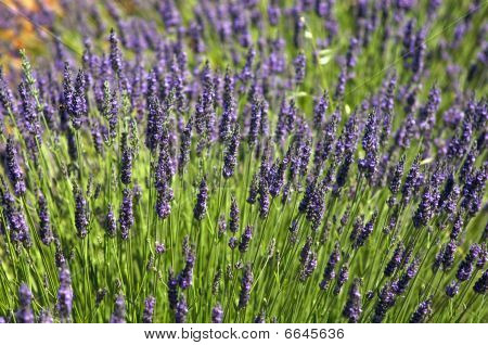 Young lavender
