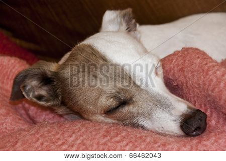 Brindle And White Italian Greyhound Sleeping On Pink Blanket
