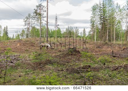 Reindeer In A Deforestation Area Near A Stump