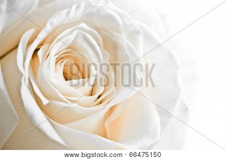 a close-up of white rose petals