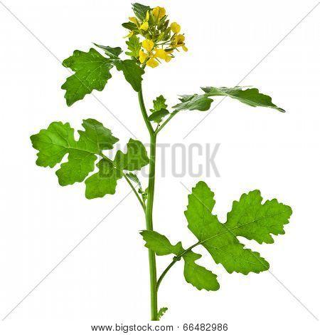 White mustard plant flowering close up  (Sinapis)  isolated on white background