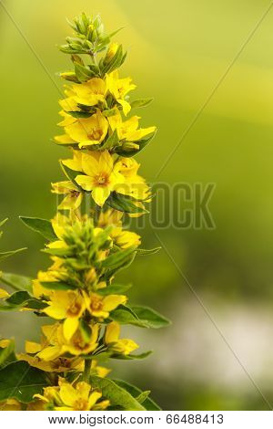 Lysimachia Flowers In Garden