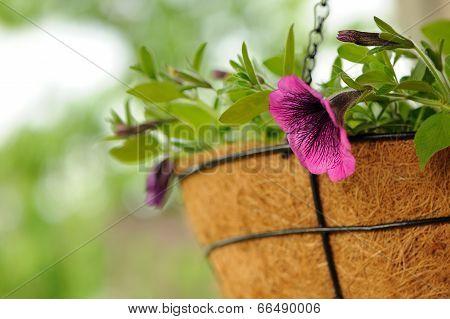 Pink Petunia Flowers In Basket