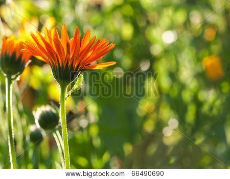 Single flower shooting with back light sun of a calendula officinalis marigold