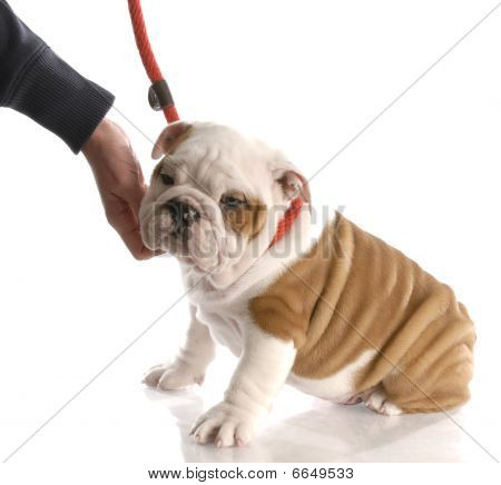 hand reaching down to pet an english bulldog puppy on a leash poster