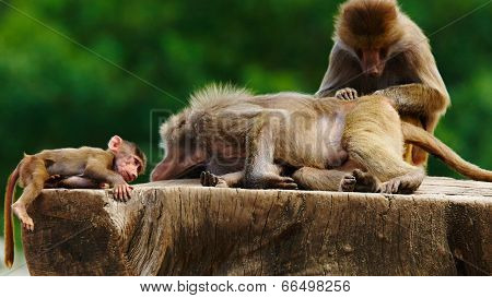Baboon Family On A Tree Stump