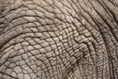 Closeup of old, wrinkled hide of an African elephant poster