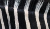 Closeup of vertical stripes of a Grant's (plains) Zebra poster