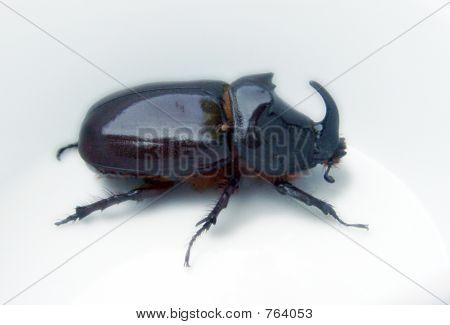 Beetlehorn