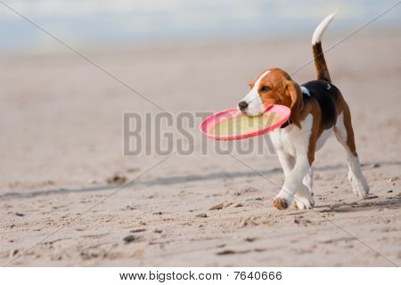 Small dog beagle puppy playing with on beach poster