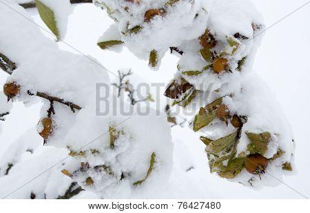 Medlar Under The Snow