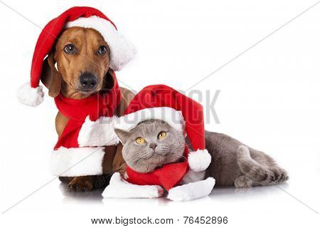 dog and cat and british cat wearing a santa hat