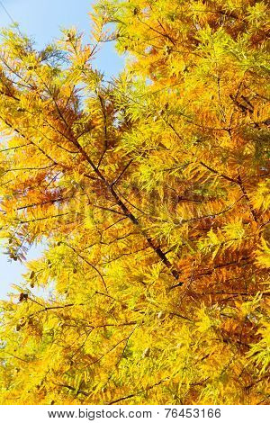 colorful autumn Bald Cypress tree