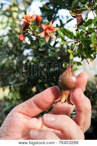 Ornamental pomegranate on the tree with hand poster