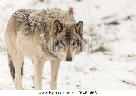 A lone Grey Wolf in a winter setting