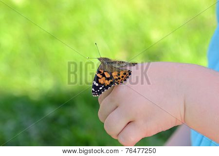 painted lady butterfly newly hatched on childs hand