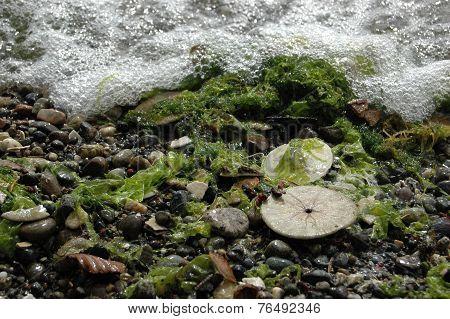 Eccentric sand dollars, Puget Sound, Washington state