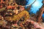 Seahorse underwater on coral reef poster