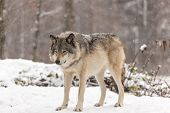 Lone timber wolf in a winter environment poster