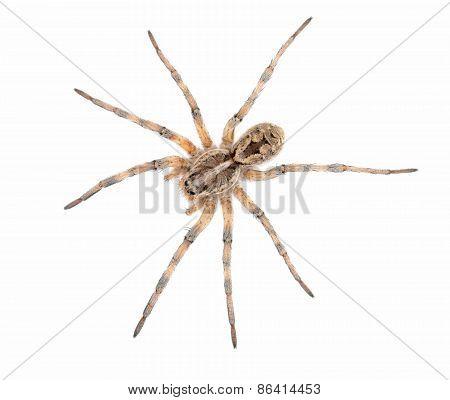 Tucson Wolf Spider