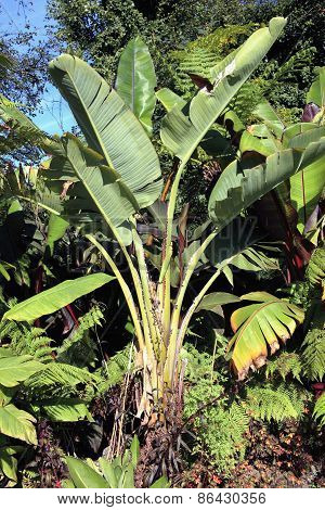 Musa Basjoo, a popular banana tree grown in gardens for its lush foliage poster